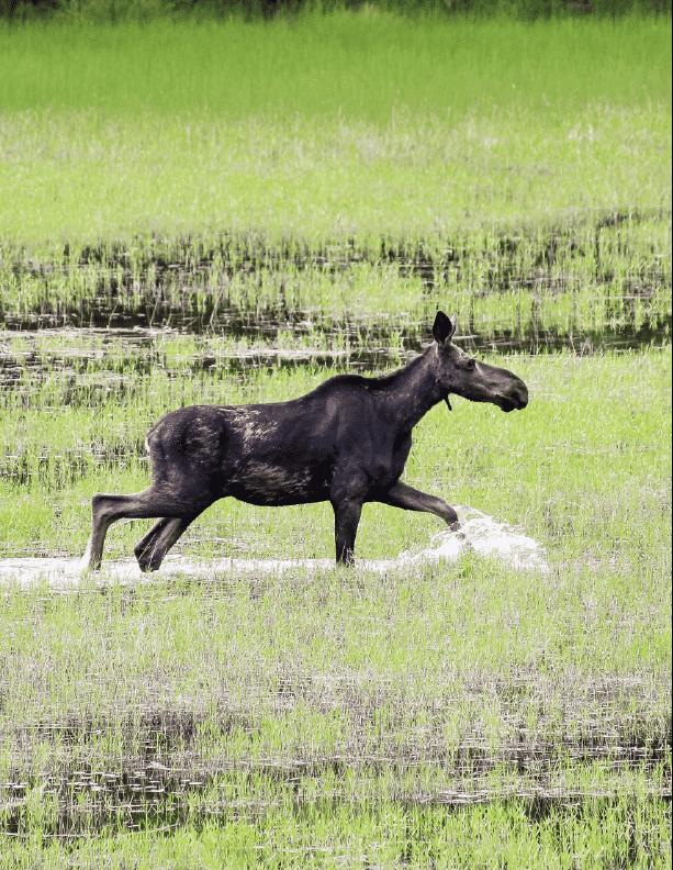 Maine Moose Watching