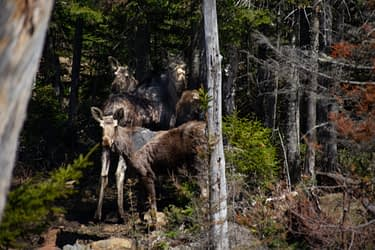 How To Spot A Moose In Maine